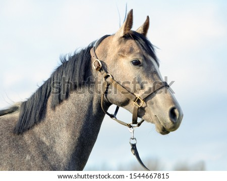 Arabian Horse. Gray stallion with traditional tack and saddle  #1544667815