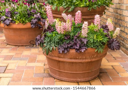 Arrangement of ornamental foliage and bicolor lupine (binomial name: Lupinus polyphyllus) in orange terra cotta pot on brick terrace of a formal garden, for themes of display, horticulture, spring #1544667866