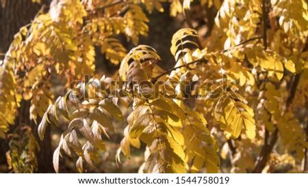 Yellow foliage. Yellow background. Foliage background. Selective focus. #1544758019