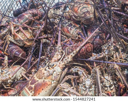 Arthropod Caribbean Caribbean Sea, Spiny Lobster, Close-Up #1544827241