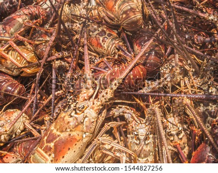 Arthropod Caribbean Caribbean Sea, Spiny Lobster, Close-Up #1544827256