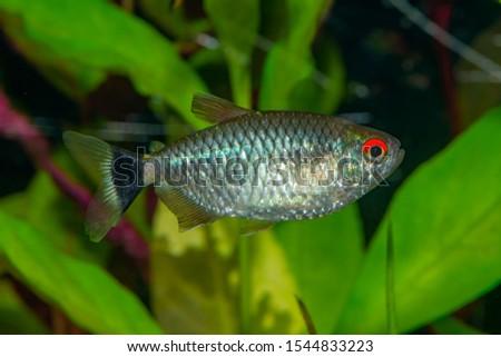 Aquarium tetra fish,The redeye tetra (Moenkhausia sanctaefilomenae), is a species of tetra from the São Francisco, upper Paraná, Paraguay and Uruguay river basins. #1544833223