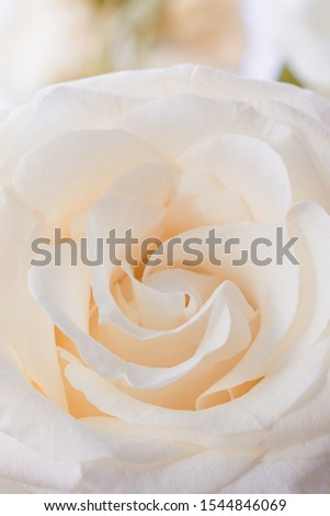 Fresh beige rose flower petals macro background, toned #1544846069