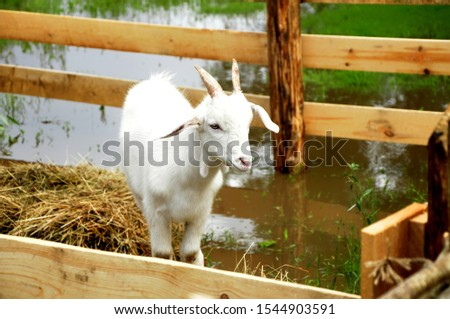 Domestic goat - domestic pet, a species of artiodactyls from the genus mountain goats family polorogih. #1544903591