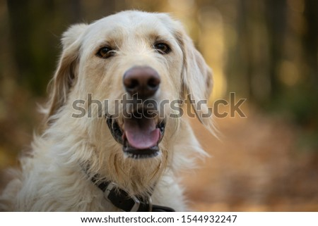 Yellow labrador dog in the forest #1544932247