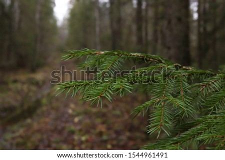 Branches of an evergreen young spruce against the background of an autumn forest. #1544961491