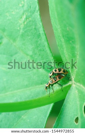 Bean Leaf Beetle (Cerotoma Trifurcata) Royalty-Free Stock Photo #1544972855