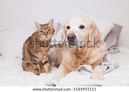 Happy young golden retriever dog and cute mixed breed tabby cat under cozy  plaid. Animals warms under gray and white blanket in cold winter weather. Friendship of pets. Pets care concept. #1544993111