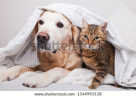 Happy young golden retriever dog and cute mixed breed tabby cat under cozy  plaid. Animals warms under gray and white blanket in cold winter weather. Friendship of pets. Pets care concept. #1544993138