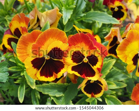 Pansy flowers, close up. Viola tricolor, with dark orange yellow brown petals. Colorful garden pansy blossoms. Hybrid plant of Violaceae family. Symbol of remembrance, planted on graves, in cemeteries