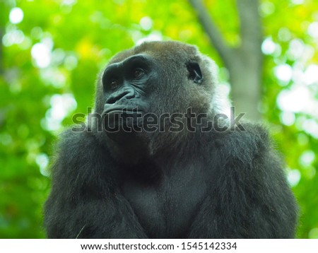 Portrait of a western lowland gorilla (Gorilla gorilla) close at close range. Close up of monkey. Silver back - adult gorilla in a native habitat. Jungle of the Central African Republic. Congo #1545142334