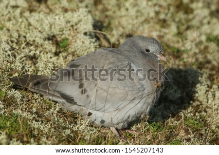 A pretty Stock Dove, Columba oenas, resting in the sand dunes amongst the lichen on the Norfolk coastline.