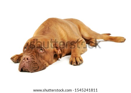 Studio shot of an adorable Cane corso italiano lying and looking curiously #1545241811