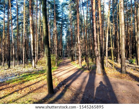 Autumn pine forest trees shadows. Pine forest path in autumn. Forest path shadows. Autumn pine tree forest shadows view #1545265895