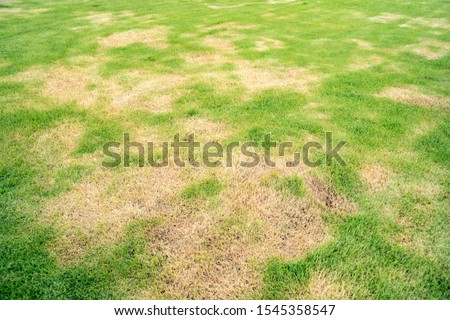 Green and yellow grass texture Brown patch is caused by the destruction of fungus Rhizoctonia Solani grass leaf change from green to dead brown in a circle lawn texture background dead dry grass. #1545358547