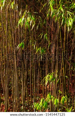 Bamboo rainforest. Bamboo plant. Bamboo trees in wood . Nature background #1545447125