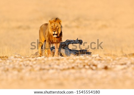 Lion walk. Portrait of African lion, Panthera leo, detail of big animals, Etocha NP, Namibia, Africa. Cats in dry nature habitat, hot sunny day in desert. Wildlife scene from nature. #1545554180