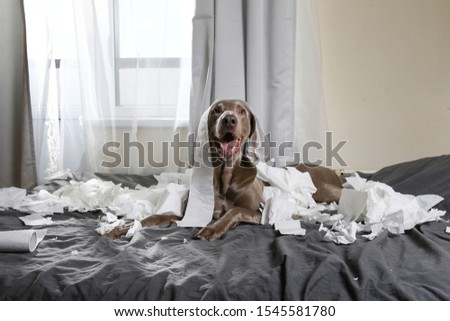 Excited playful pointer dog with tongue out lying on bed in bedroom among scraps of toilet paper #1545581780