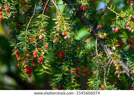 Taxus cuspidata, the Japanese yew or spreading yew, a coniferous tree. Beautiful red berries in the sun, called  arils- the red fleshy cup around a yew seed. The leaves are flat and evergreen. #1545606074