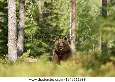 European brown bear in forest #1545611699