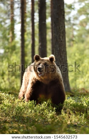 European brown bear in forest #1545632573