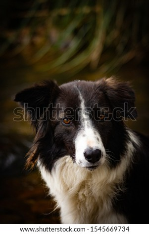 Border Collie picture in forest