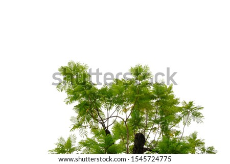 Tropical tree leaves on white isolated background for green foliage backdrop  #1545724775