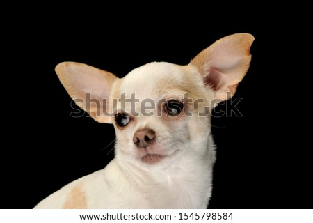 Portrait of an adorable chihuahua looking curiously