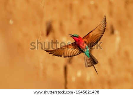 Beautiful red bird - Southern Carmine Bee-eater - Merops nubicus nubicoides flying and sitting on their nesting colony in Mana Pools Zimbabwe, Africa. #1545821498