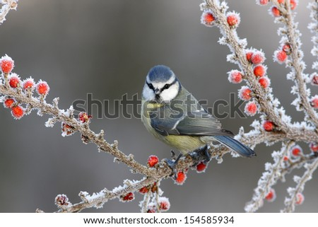 Blue tit Parus caeruleus, On berries in frost, Midlands, winter                Royalty-Free Stock Photo #154585934
