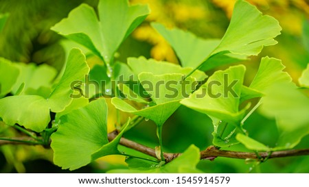 Close-up brightly green leaves of Ginkgo tree (Ginkgo biloba), known as ginkgo or gingko in soft focus against background of blurry foliage. The natural light of sunny day. Nature concept for design #1545914579