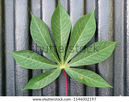 Cassava leaves against a black background #1546002197