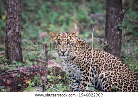 leopard posing for the picture at Panna National Park, Madhya Pradesh