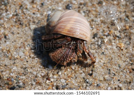 Hermit crab in the coastal strip of the Sea of Japan #1546102691