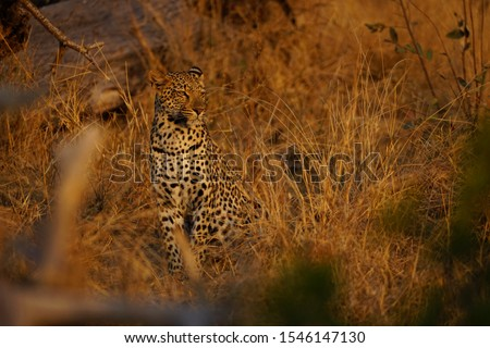 Beautiful leopard at dusk at gamedrive in kruger nationalpark. Very relaxed big cat with orange eyes. Very warm atmosphere in the picture  6000x4000