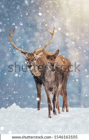Deer in beautiful winter landscape with snow and fir trees in the background.  #1546163105