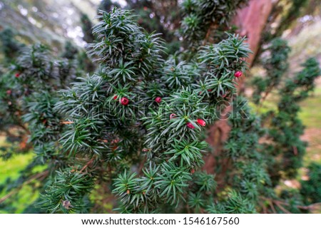 Green branches of Yew tree with red fruits, berries. Taxus baccata, the tree originally known as yew. English yew or European yew #1546167560