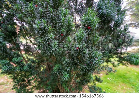 Green branches of Yew tree with red fruits, berries. Taxus baccata, the tree originally known as yew. English yew or European yew #1546167566