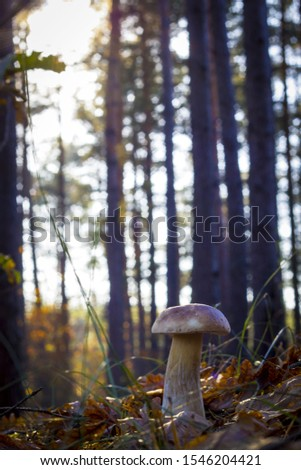 Mushroom grows in morning sun rays Autumn mushrooms grow in forest. Natural raw food growing. Edible cep, vegetarian natural organic meal #1546204421