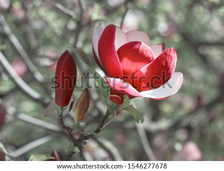 Red Magnolia flower bloom on background of blurry Magnolia flowers on Magnolia tree.