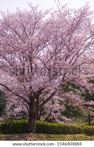 Full bloom of cherry Honmoku summit Park (Yokohama) #1546404884