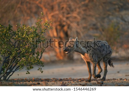 Spotted Hyena, Crocuta crocuta running on a rocky plain in early morning light. Close up, low angle wildlife photography. Photo safari adventure on the plains of Mana Pools, Zimbabwe. #1546446269