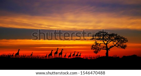 Amazing sunset and sunrise.Panorama silhouette tree in africa with sunset.Tree silhouetted against a setting sun.Dark tree on open field dramatic sunrise.Safari theme.Giraffes.