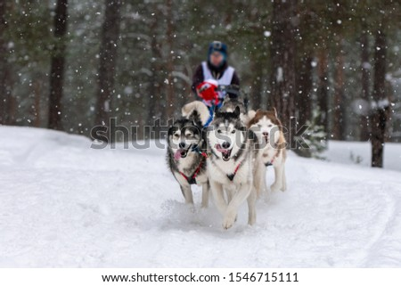 Sled dog racing. Husky sled dogs team pull a sled with dog driver. Winter competition.