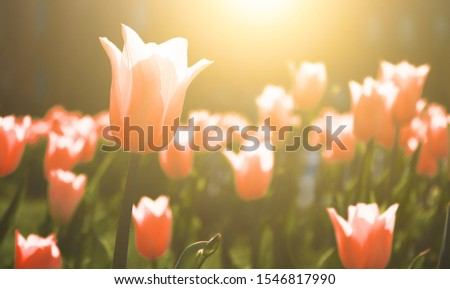 Pink tulip blooms against a background of blurry tulips in a pink tulip garden.