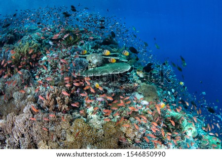 A beautiful coral reef thrives near Alor, Indonesia. This tropical region receives strong currents which bring planktonic food to the vibrant fish and corals that live here. #1546850990