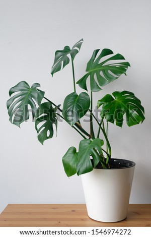 Beautiful monstera flower in a white pot stands on a wooden table on a white background. The concept of minimalism. Hipster scandinavian style room interior. Empty white wall and copy space. Royalty-Free Stock Photo #1546974272