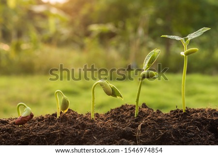the seedling are growing from the rich soil to the morning sunlight that is shining, seedling, cultivation. agriculture, horticulture. plant growth evolution from seed to sapling, ecology concept. #1546974854