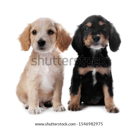 Cute English Cocker Spaniel puppies on white background #1546982975