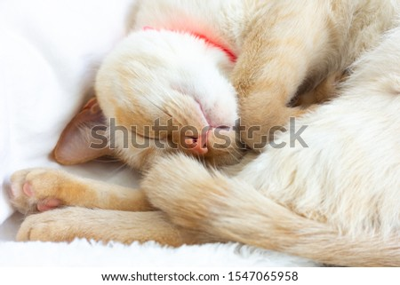 Close-up of a cat's muzzle with red ears and a nose sweetly sleeping on a white bed near the pillow. #1547065958